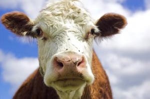 proteína de leche de vaca