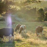 ¿Qué es la Leche de pastoreo y por qué es tan buena?